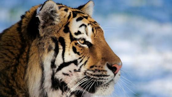 Bengal tiger portrait wallpaper