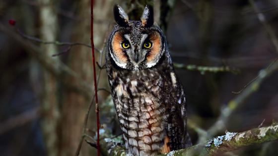 Long-eared Owl wallpaper