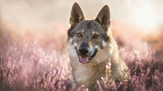 Czechoslovakian wolfdog wallpaper