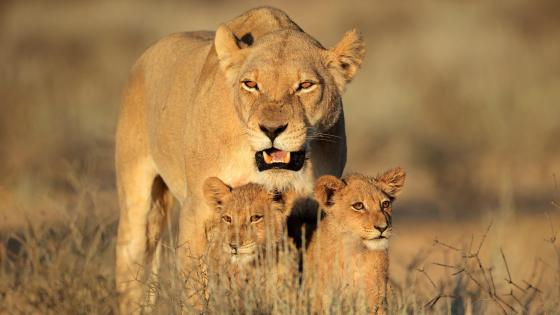 Lioness and cubs wallpaper