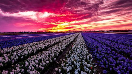 Hyacinth farm wallpaper