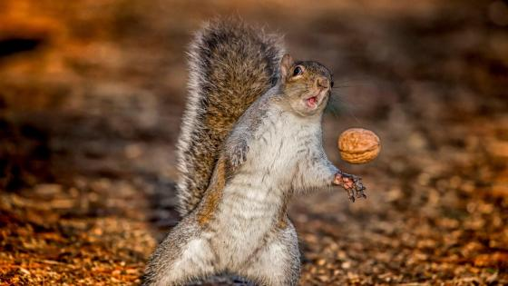 Funny squirrel with a walnut wallpaper