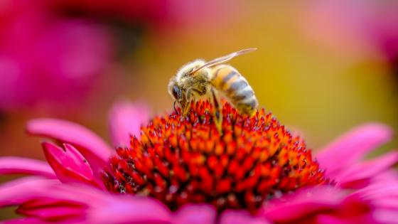 Honey bee - Macro photography wallpaper