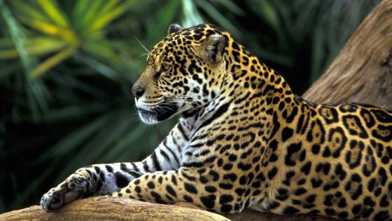 Beautiful rainforest jaguar wallpaper