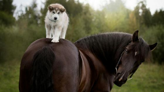 Husky puppy horse ride wallpaper