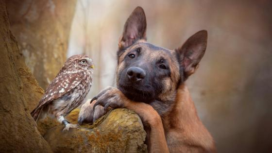 Incredible friendship between a dog and owl wallpaper