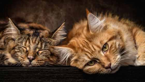 Sleepy cats wallpaper
