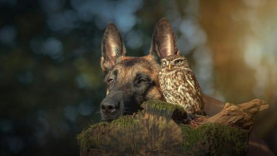 Belgian Shepherd dog and Owl friendship wallpaper