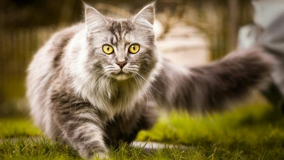Grey longhaired cat in the green garden wallpaper