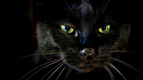 Black cat wallpaper