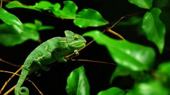 Green chameleon wallpaper