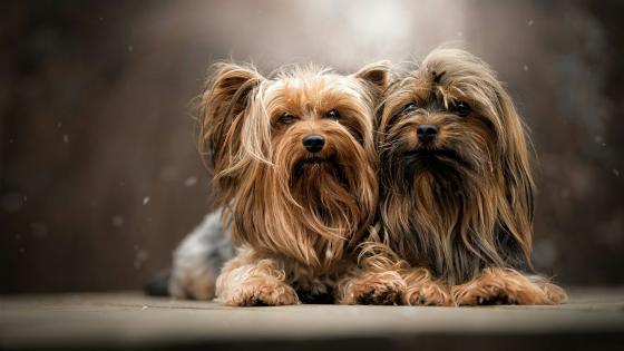 Yorkshire terrier dogs wallpaper