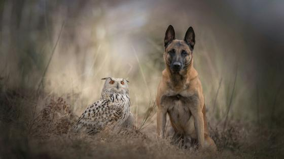 Snowy owl &  Belgian Shepherd dog wallpaper