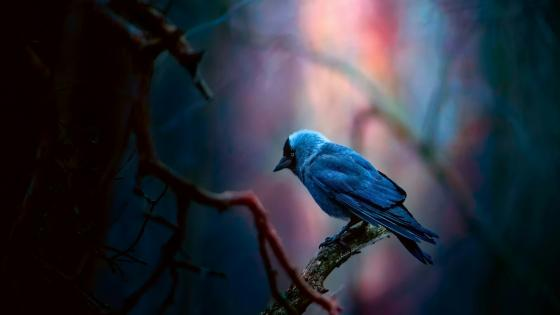 Jackdaw bird wallpaper