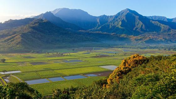 Taro fields in Hanalei Valley wallpaper