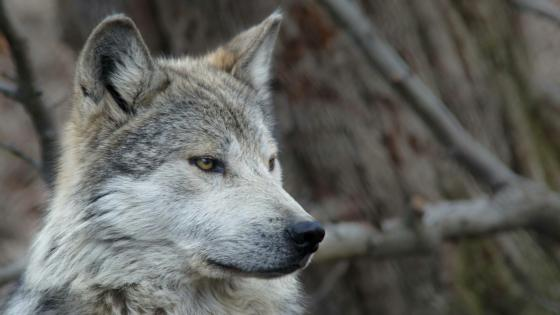 Mexican gray wolf wallpaper