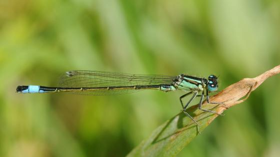 Damselfly macro photography wallpaper