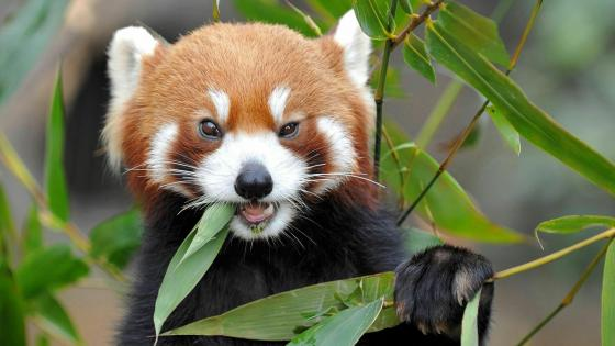 Cute Red Panda eating bamboo wallpaper
