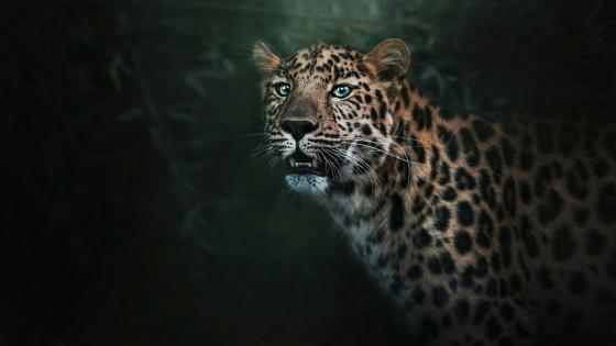 Leopard with blue eyes wallpaper