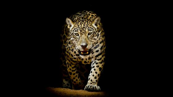 Leopard in the dark wallpaper