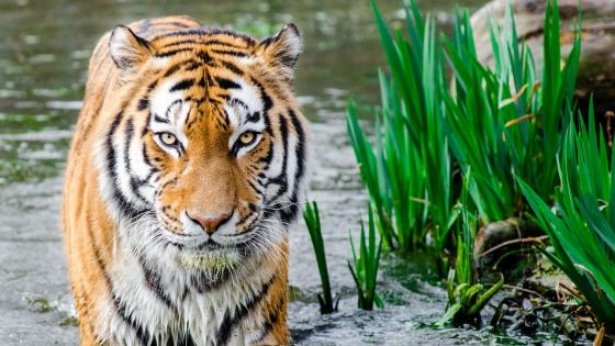 Bengal tiger in the water wallpaper