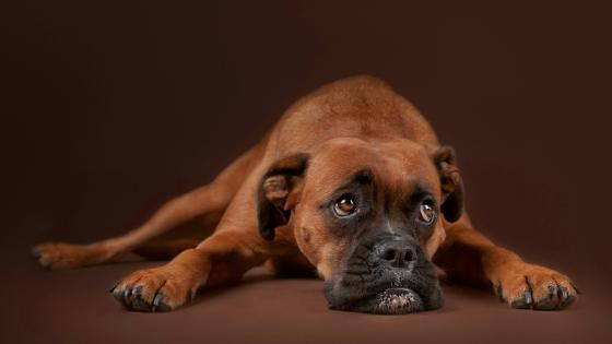 Boxer puppy wallpaper