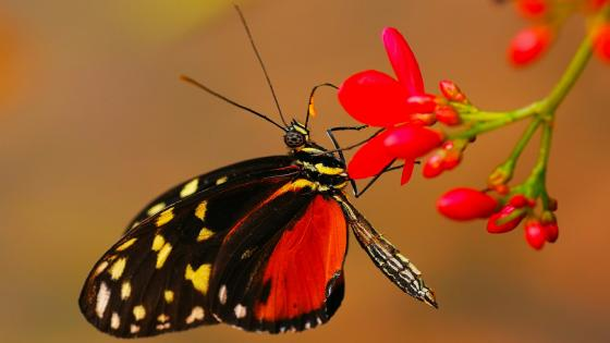 Butterfly on a red flower wallpaper