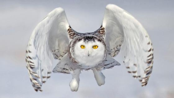 Snowy owl in flight wallpaper