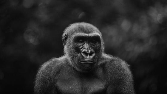 Sad Gorilla - Monochrome wildlife photography wallpaper