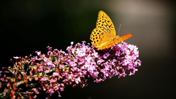 Close up butterfly wallpaper