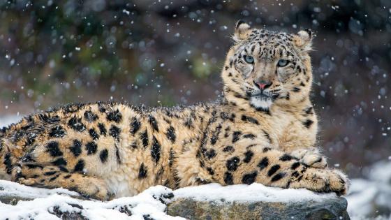 Snow leopard in snowfall wallpaper