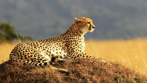 Cheetah in the Savanna wallpaper