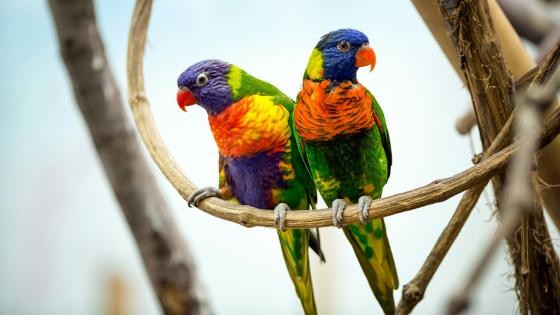 Cute parrot pair on a twig wallpaper