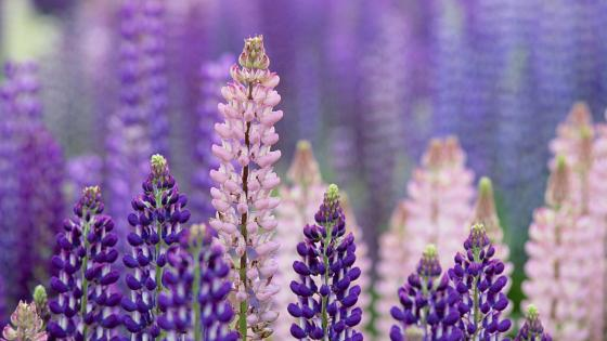 Lupin flowers wallpaper