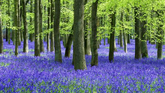 Bluebell wood on springtime wallpaper