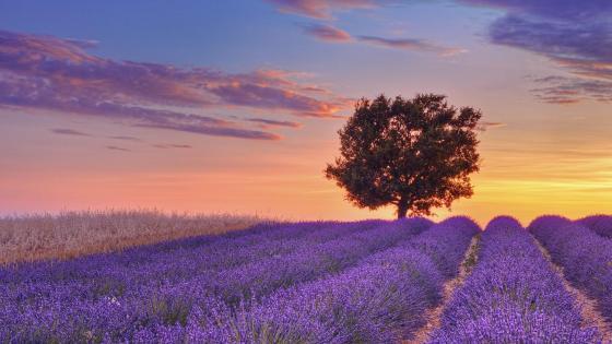 Provance lavender field at dawn wallpaper