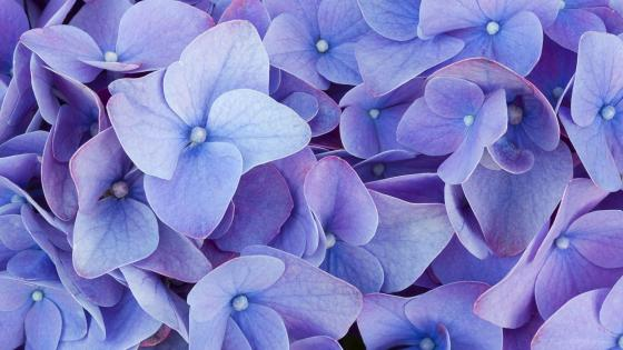 Close up hydrangea flower wallpaper