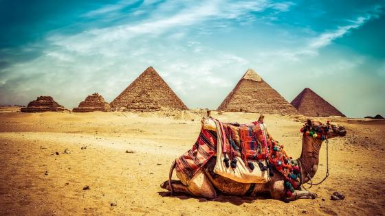 Camel at Giza Pyramid Complex, Egypt wallpaper