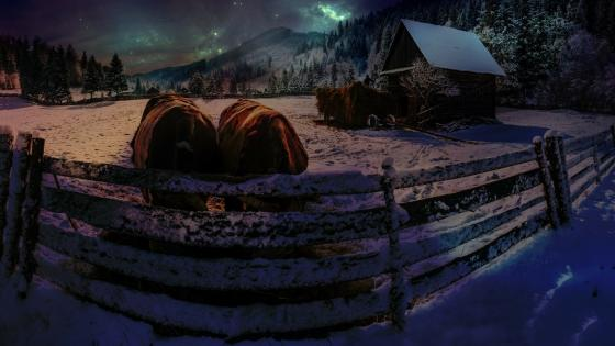 Cows in the snowy farm at night wallpaper