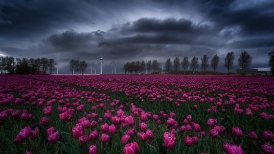 Creil (Netherlands) - Largest tulip field area in the Netherlands wallpaper