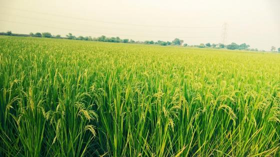 Green fields in India wallpaper