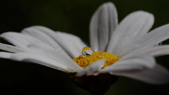White flower yellow rain drop nature wallpaper