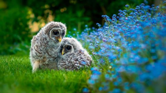 Owl chicks in the grass wallpaper