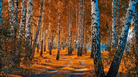 A birch grove wallpaper