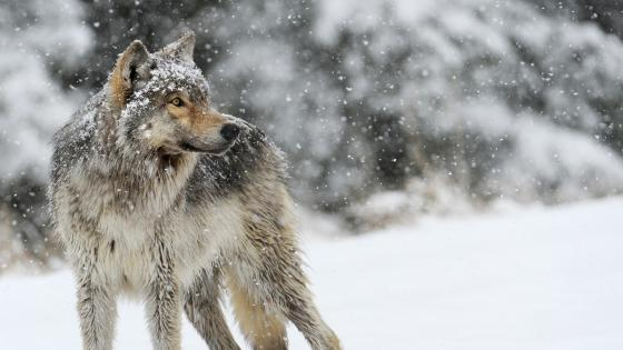 Winter wolf photo wallpaper