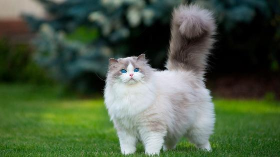 Extremly fluffy cat with blue eyes wallpaper