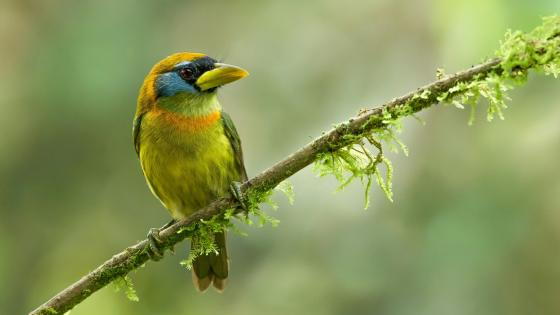 Red-headed barbet bird on a mossy twig wallpaper