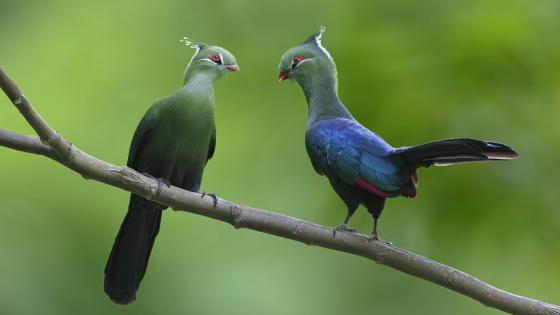 Turaco couple on a twig wallpaper
