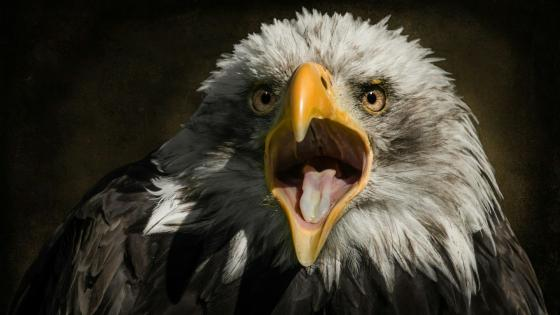 Bald Eagle opened beak wallpaper