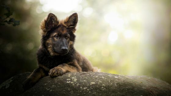 King Shepherd dog wallpaper